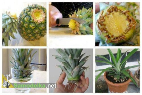 Как вырастить ананас горшке