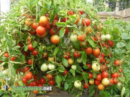 помидоры вверх корнями урожай