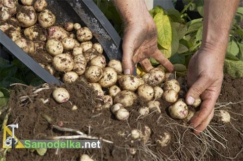 как вырастить картофель в бочке собираем урожай