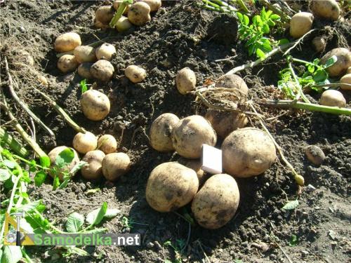самодельное удобрение для картофеля