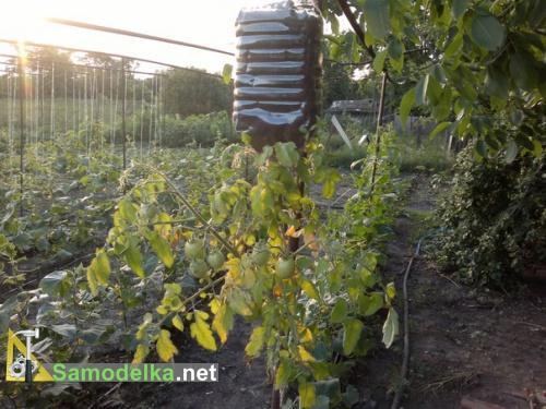 помидоры вверх корнями в пластиковой бутылке