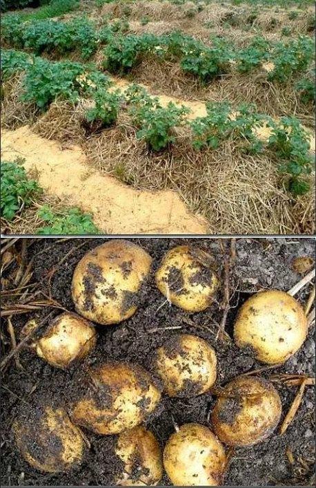 еще картошка