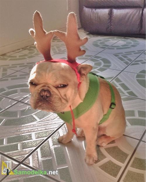 недовольная олень - пес