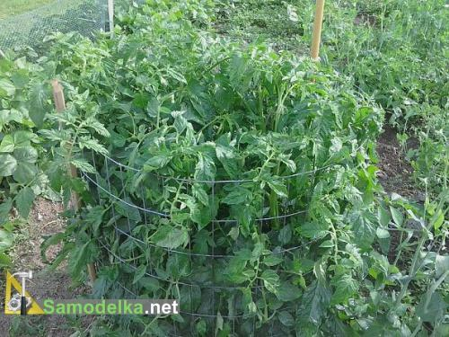 как правильно поливать помидоры в открытом грунте месяц полива