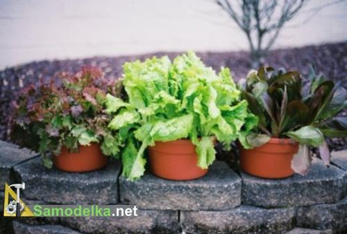 какие овощи можно вырастить на балконе - салат