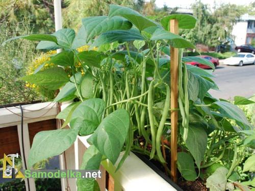 какие овощи можно вырастить на балконе - фасоль