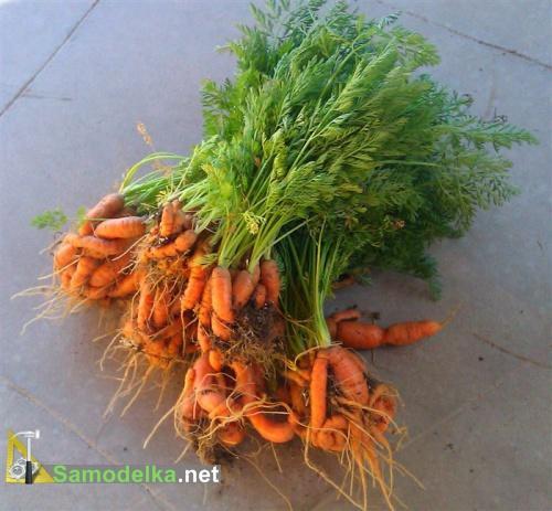 какие овощи можно вырастить на балконе - морковь