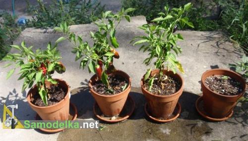 какие овощи можно вырастить на балконе - перец