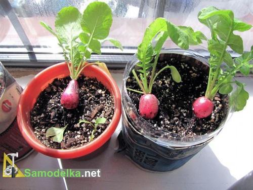 какие овощи можно вырастить на балконе - редис